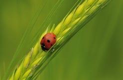 пятно septempunctata 7 ladybird coccinella Стоковое Изображение