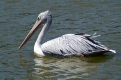 Пятн-представленный счет пеликан или серый пеликан стоковые изображения rf