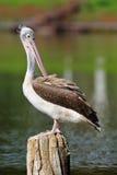 Пятн-Представленный счет пеликан стоковая фотография rf