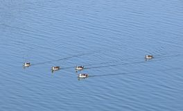 Пятн-представленные счет утки на озере Randarda, Rajkot, Индии Стоковое Фото