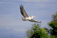 Пятн-представленный счет пеликан в полете Стоковое Фото