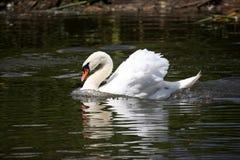 Плавать в лебедя белизны пруда Стоковое фото RF