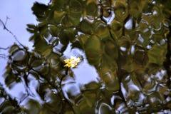 Плавать клена лист стоковые фото