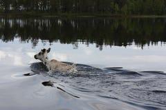 Плавать на оленей озера Стоковое Изображение