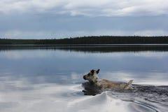Плавать на оленей озера Стоковая Фотография RF