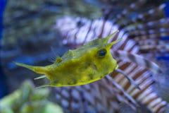 Плавать cornuta Lactoria стоковая фотография rf