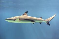 Плавая акула Стоковое Изображение