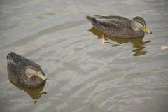 2 плавая американских черных утки Стоковые Изображения RF
