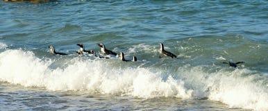 Плавая африканские пингвины Стоковые Фотографии RF