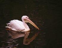 плавая вода пеликана Стоковые Фото