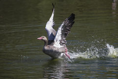 плавая вода серого цвета гусыни Стоковое Фото