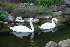 2 плавая лебедя Птица романс красоты напольно Стоковые Изображения RF