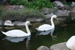 2 плавая лебедя Птица романс красоты напольно Стоковые Фото