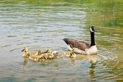 Плавая канадские гусыни с гусятами Стоковое Изображение