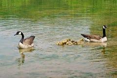 Плавая канадские гусыни с гусятами Стоковая Фотография RF