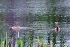 Плавая канадские гусыни Стоковые Изображения RF