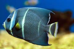 Плавая французский angelfish Стоковое Изображение