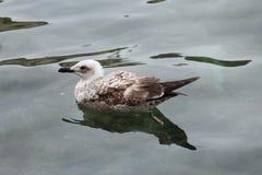Плавая чайка моря Стоковое фото RF