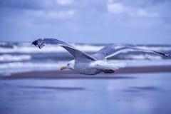 Плавая чайка с расплывчатой предпосылкой Стоковые Изображения RF