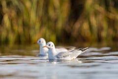 2 плавая черно-головых чайки (ridibundus Larus) Стоковое фото RF