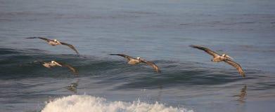 Плавное движение пеликанов над спокойным голубым океаном Стоковое Изображение RF