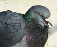Плакать голубя Стоковое Фото