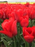 Пламенеющие красные тюльпаны Стоковые Изображения