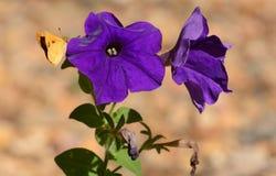 Пламенистая бабочка шкипера на фиолетовых петуньях Стоковое фото RF