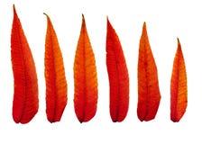 Пламенистые листья осени Стоковое Изображение RF
