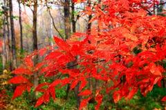 Пламенист-красные клены в осени (iv) Стоковое Фото