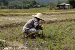 Плантатор на рисовых полях Ranau Стоковые Фотографии RF