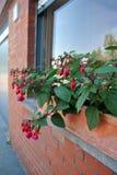 Плантатор с Fuchsia цветками Стоковое фото RF