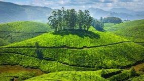 Плантации зеленого чая в Индии стоковое фото
