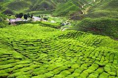 Плантации зеленого чая на гористых местностях Камеруна в Малайзии Стоковые Фотографии RF