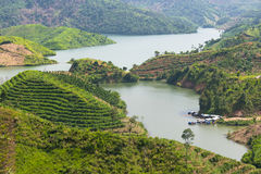 Плантации чая в Вьетнаме Стоковая Фотография