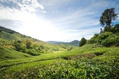 Плантации чая в гористых местностях Камерона, Малайзии стоковые фотографии rf