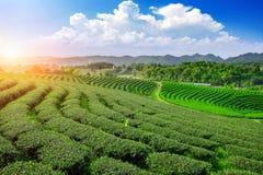 Плантации чая в chiangrai стоковое изображение rf