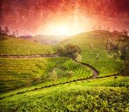 Плантации чая на заходе солнца стоковые изображения