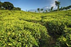 Плантации чая на Ява, Индонезии Стоковая Фотография
