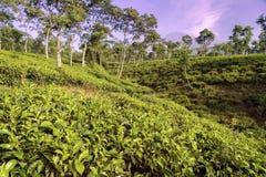 Плантации чая на Ява, Индонезии Стоковое Изображение RF
