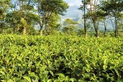 Плантации чая на Ява, Индонезии Стоковое фото RF