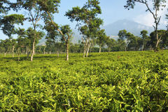 Плантации чая на Ява, Индонезии Стоковые Изображения