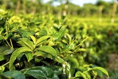Плантации чая на Ява, Индонезии Стоковая Фотография RF