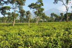 Плантации чая на Ява, Индонезии Стоковое Фото