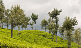 Плантации чая, Шри-Ланка стоковые изображения