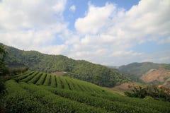 Плантации чая Стоковое Фото