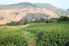 Плантации чая Стоковая Фотография RF