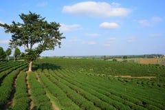 Плантации чая Стоковое Изображение
