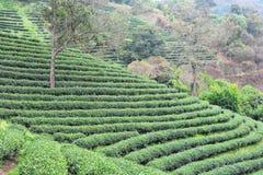 Плантации чая Стоковые Изображения RF