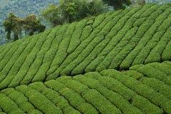 Плантации чая стоковые изображения
